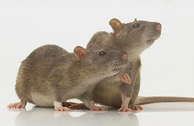 杀虫灭鼠公司注意尸体处理,不能造成再污染