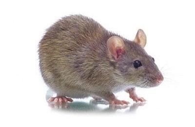鼠类在哪个季节繁殖旺盛【济南灭鼠公司】